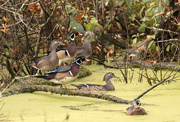 25th Oct 2017 - Wood duck galore