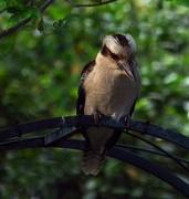 27th Oct 2017 - Kookaburra waiting