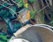 27th Oct 2017 - Morning Robin