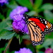 Monarch butterfly by congaree