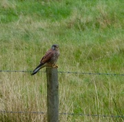 27th Oct 2017 - Kestrel!