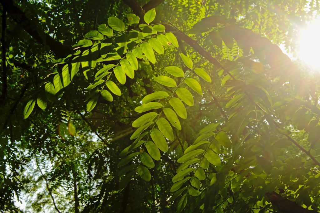 Black locust leaves in evening light by xof