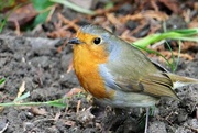 28th Oct 2017 - Same Robin Different Day