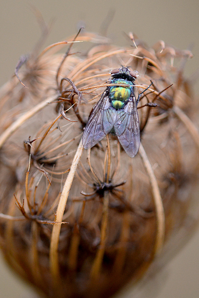 Queen's fly trap! by fayefaye