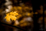 28th Oct 2017 - the lonesome leaf