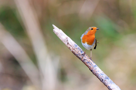 Robin on Stick by padlock