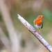 Robin on Stick