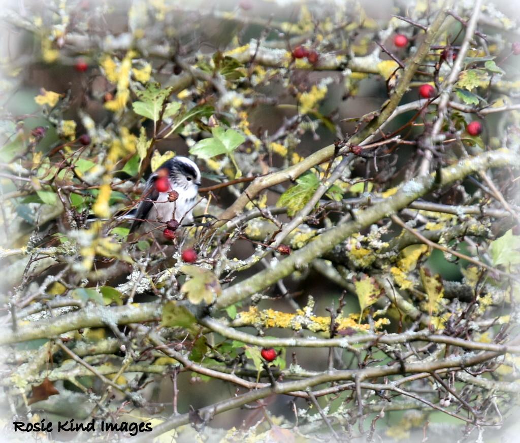 Hiding behind the berries by rosiekind