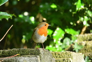 29th Oct 2017 - Robin on the wall.....