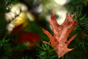 29th Oct 2017 - Oak Leaf Bokeh