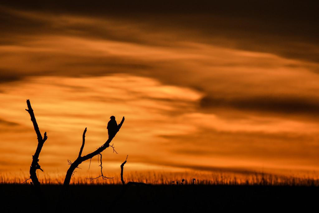 Sundown, Hawk Silhouette by kareenking