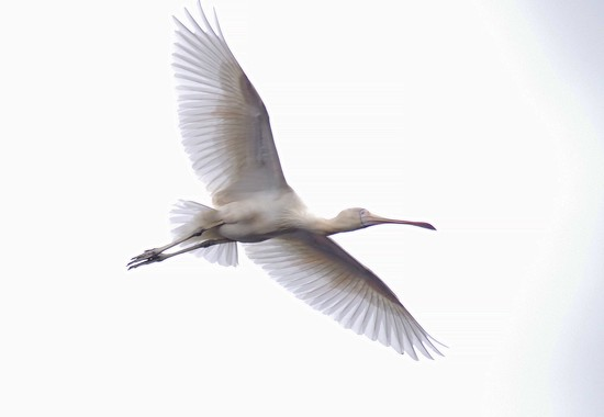 Yellow billed spoonbill in flight by maureenpp