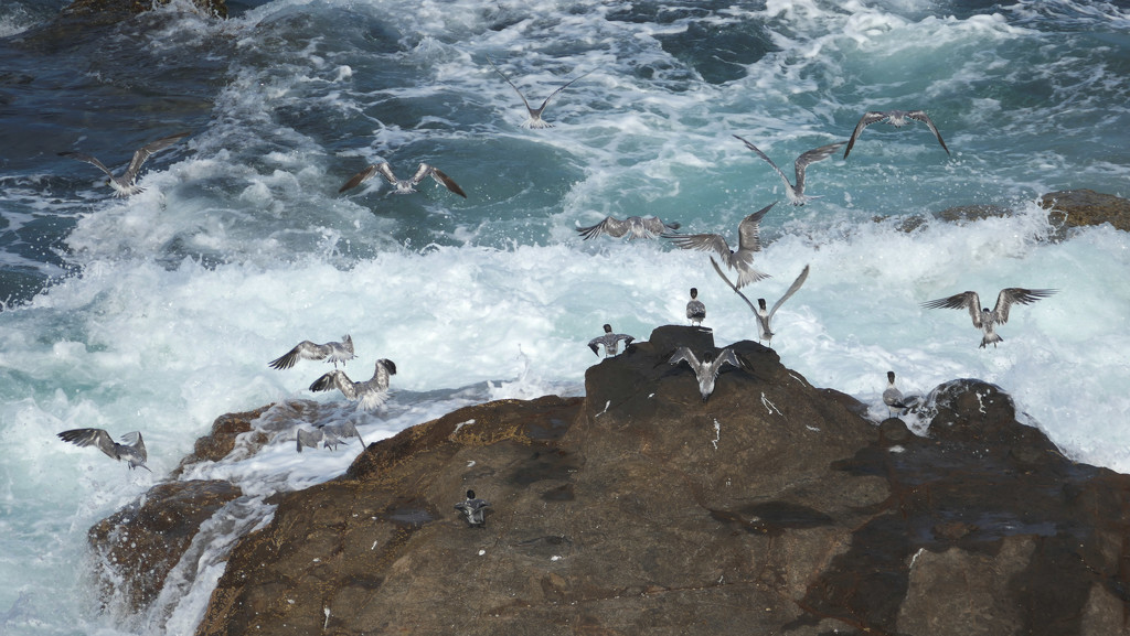 Crested terns at Point Perry, Coolum Beach by hrs