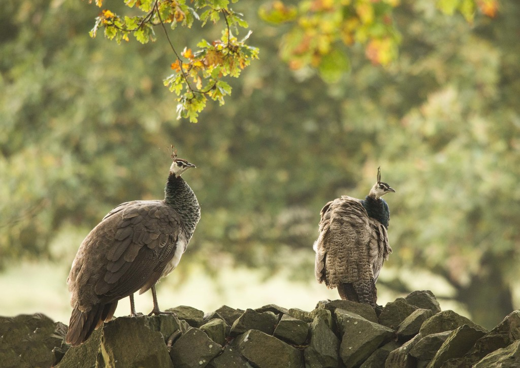 Peahens by shepherdmanswife