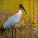 Woodstork Checking Me Out! by rickster549
