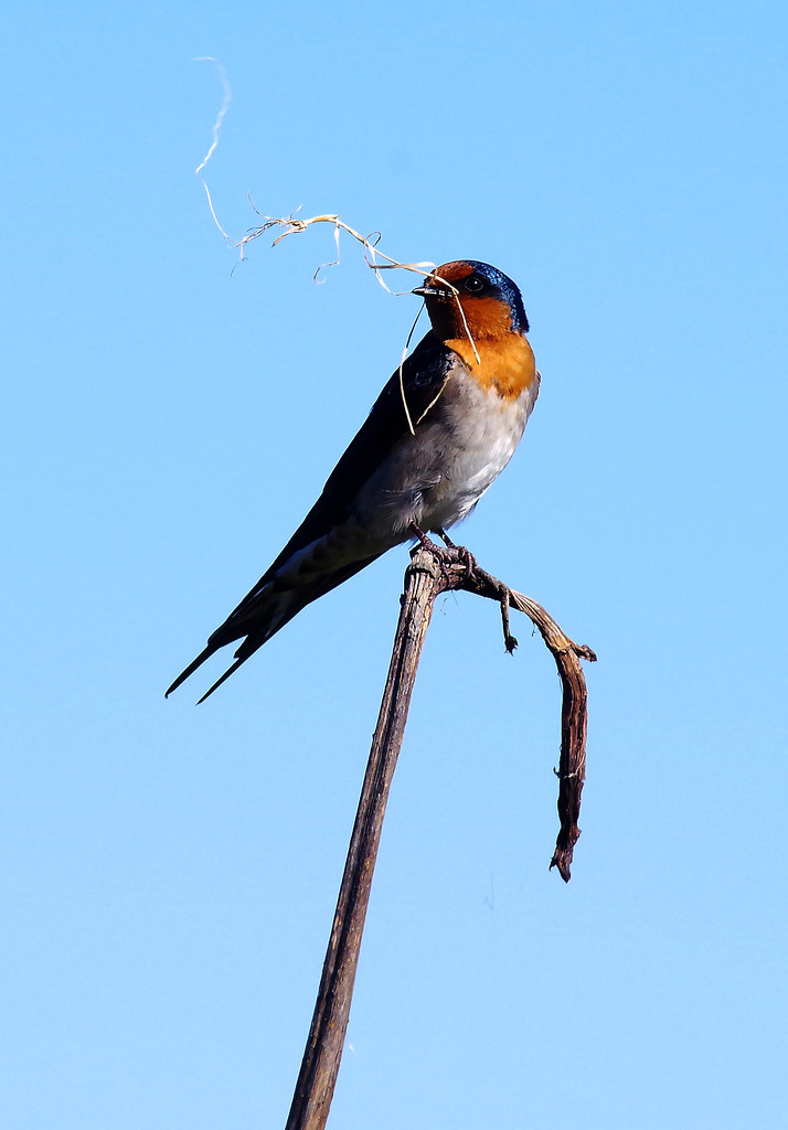 Welcome swallow with nesting material - making a home by maureenpp