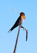 31st Oct 2017 - Welcome swallow with nesting material - making a home
