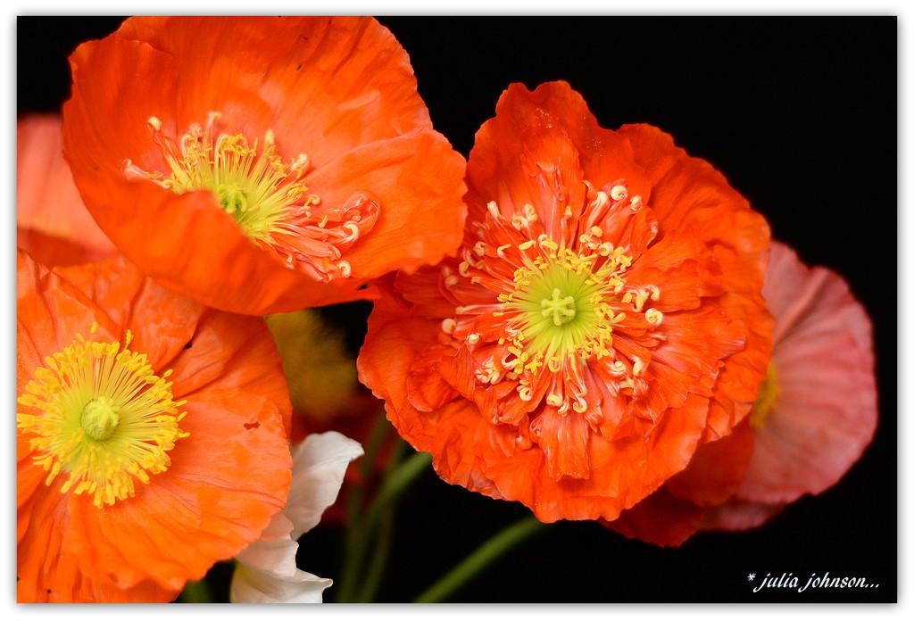 Trio of Poppies.. by julzmaioro