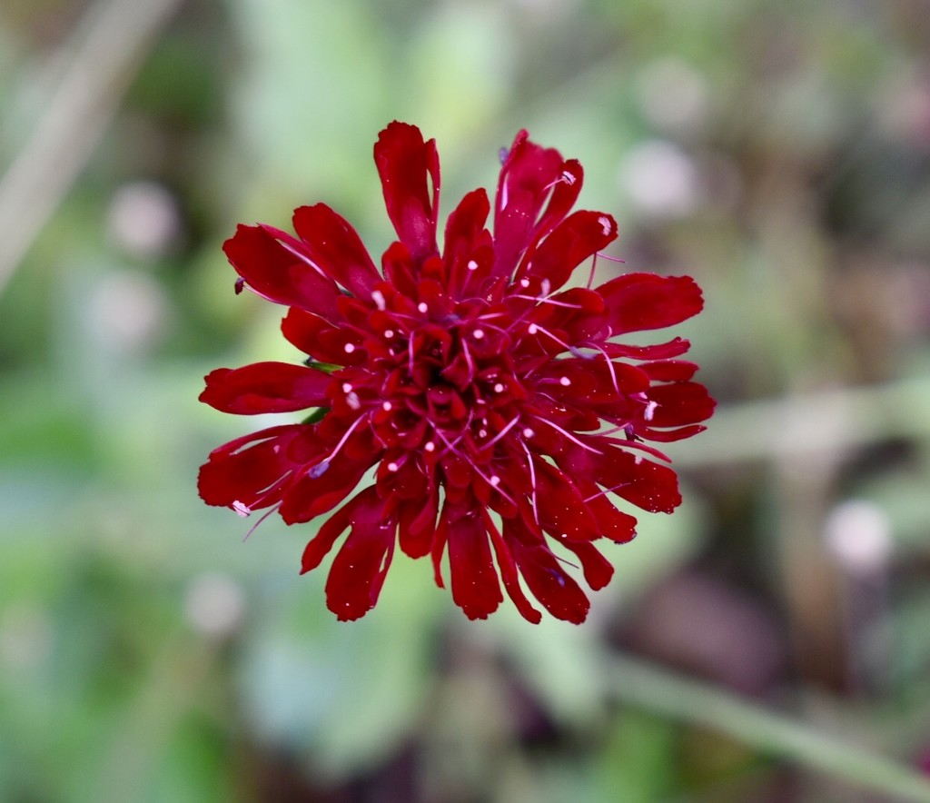 Red Flower by gillian1912