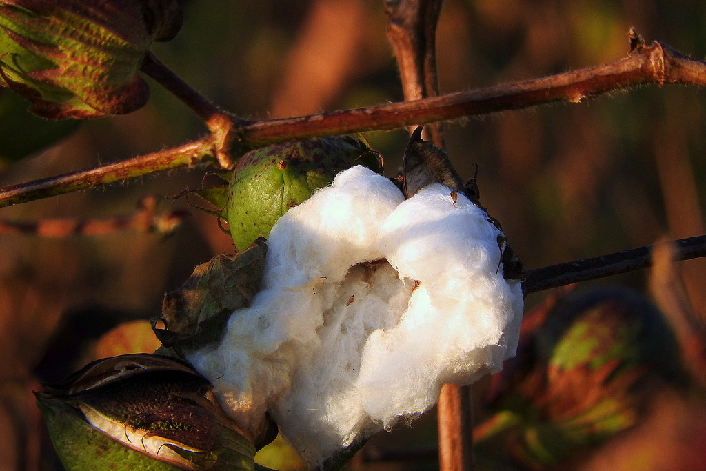 Cotton and Bolls by homeschoolmom