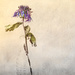 the bloom formerly known as cornflower by pistache