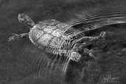 1st Sep 2017 - Turtle in Black and white