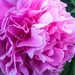 Peony by pusspup