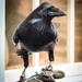 Raven by swillinbillyflynn