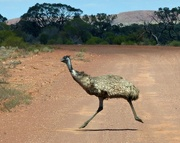 1st Nov 2017 -  Why did the emu cross the road!