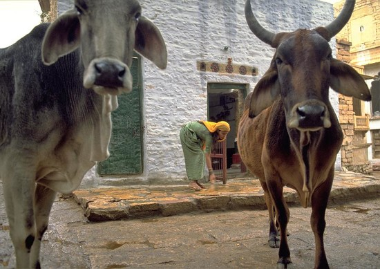 31 Holy Cow in India by travel