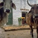 31 Holy Cow in India