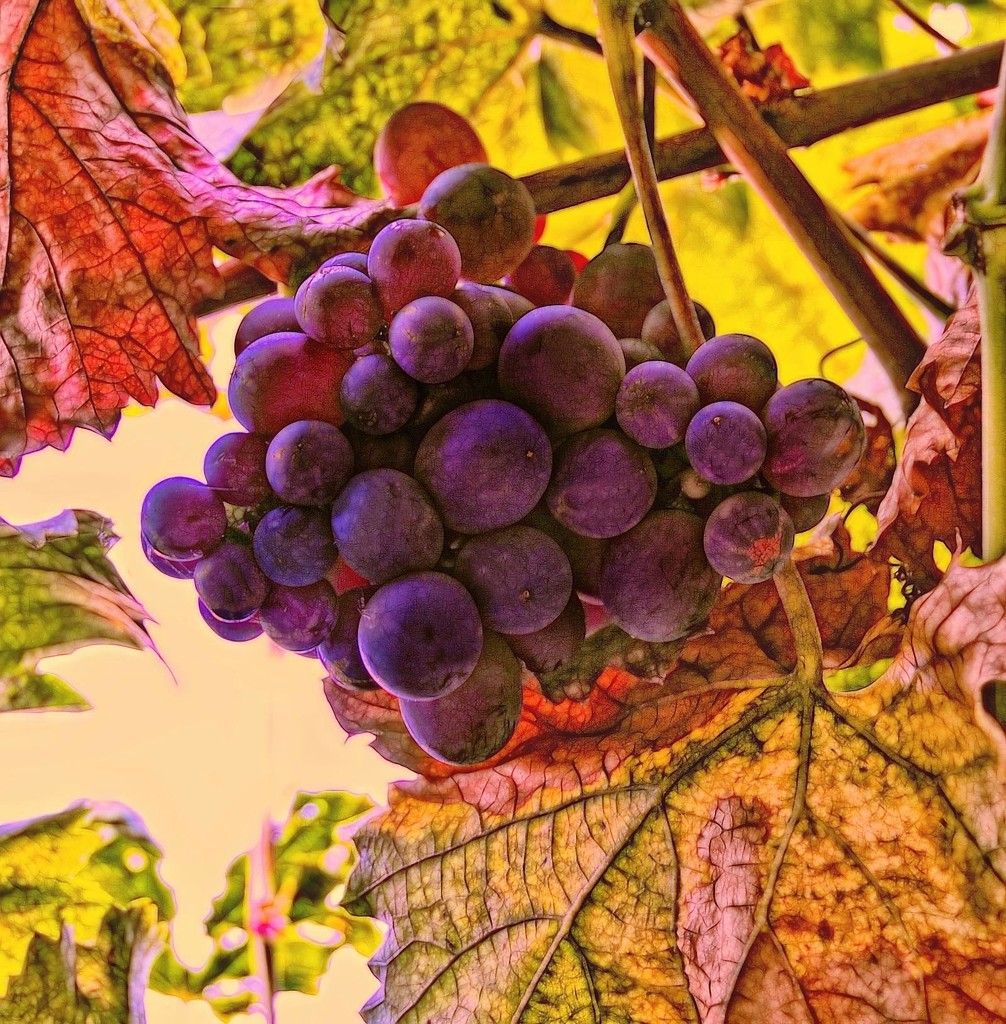 Grape Vine by joysfocus