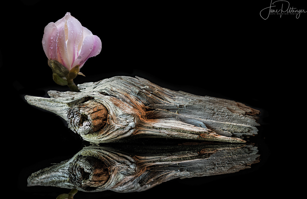 driftwood reflected with Star Magnolia by jgpittenger