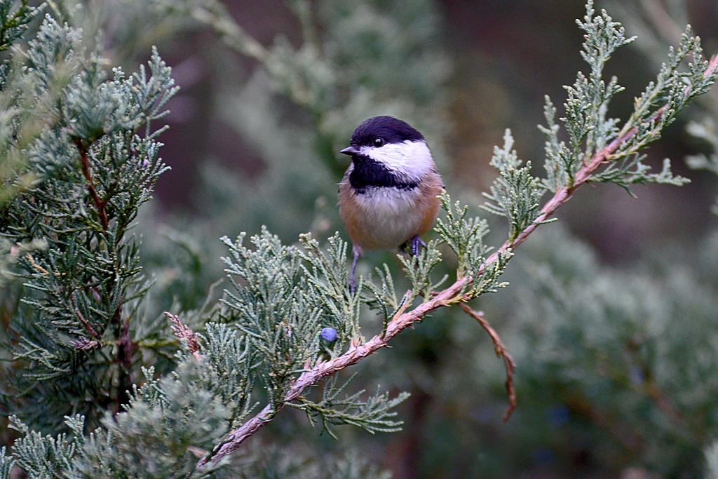 Chickadee on a branch! by fayefaye