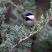 Chickadee on a branch! by fayefaye
