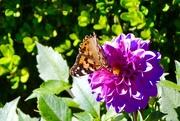 1st Nov 2017 - The last Monarch on the last Dahlia