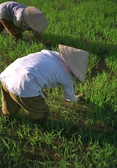 33 Vietnam Paddy Fields by travel