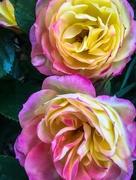 2nd Nov 2017 - Roses