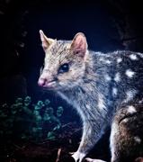 25th Oct 2017 - marsupial