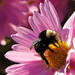 Busy Bumble Bee by seattlite