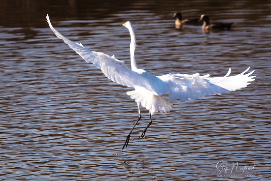 Egret Flight by stefneyhart