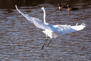 2nd Nov 2017 - Egret Flight