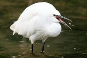 2nd Nov 2017 - Egret catching a fish!!