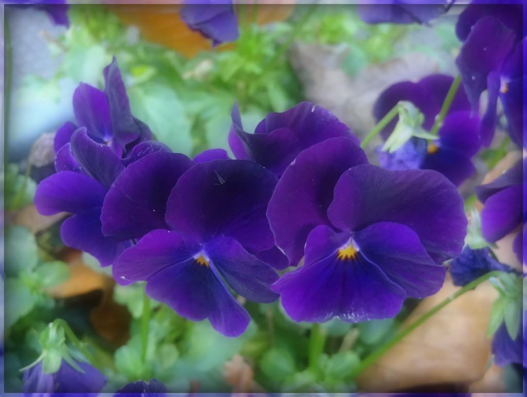 purple violets by gijsje