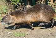 3rd Nov 2017 - Coypu or Nutria on the Run