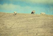 26th Oct 2017 - sheep - Baaaaaaaa