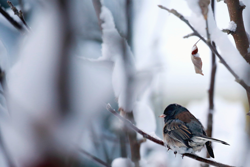 Junco in the Snowy Tree by gq