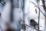 3rd Nov 2017 - Junco in the Snowy Tree