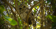 4th Nov 2017 - Barred Owl Checking Me Out!