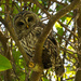 Barred Owl Checking Me Out! by rickster549